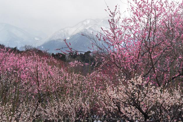 いなべ農業公園(梅林),P3150046ps3,2017yaotomi.jpg