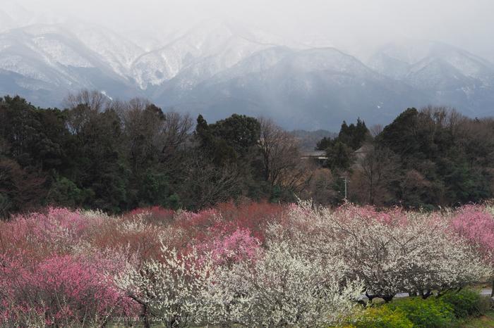 いなべ農業公園(梅林),P3150119ps3,2017yaotomi.jpg