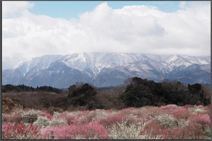 いなべ農業公園(梅林),P3150152ps3,2017yaotomi_T.jpg