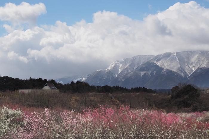 いなべ農業公園(梅林),P3150154ps3,2017yaotomi.jpg