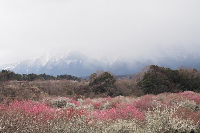 いなべ農業公園(梅林),P3150157ps2,2017yaotomi.jpg
