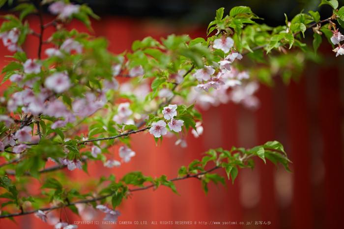 車折神社の桜_IMG_6548,2017yaotomi.jpg