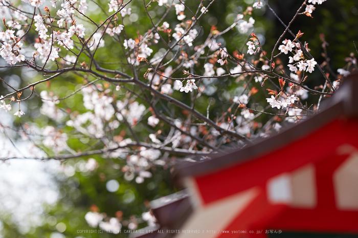 車折神社の桜_IMG_6568,2017yaotomi.jpg