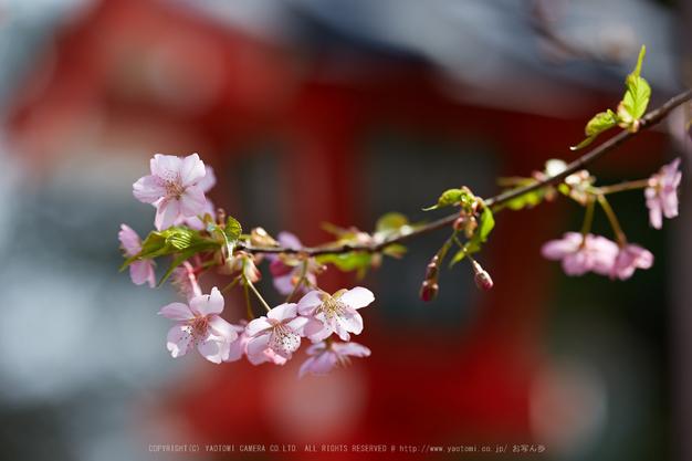 車折神社の桜_IMG_6600,2017yaotomi.jpg