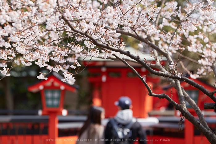 車折神社の桜_IMG_6606,2017yaotomi.jpg