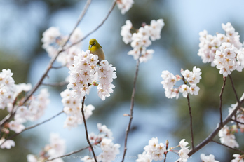 車折神社の桜_IMG_6892,2017yaotomi.jpg