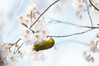 車折神社の桜_IMG_6928,2017yaotomi 1.jpg