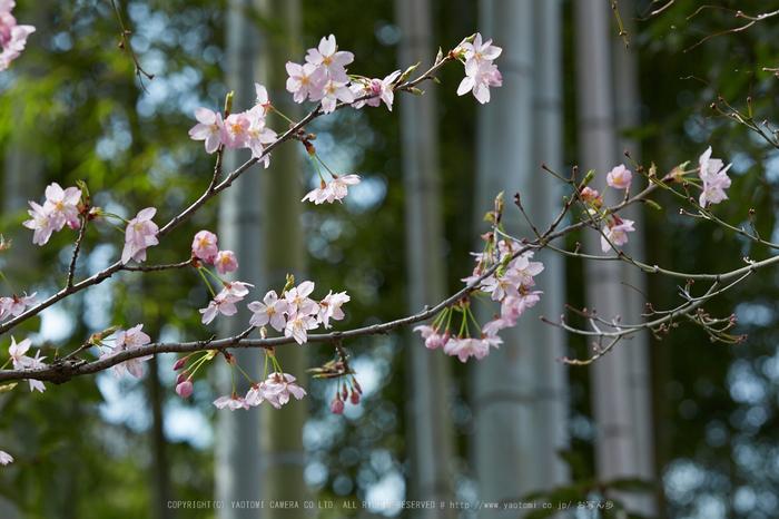 車折神社の桜_IMG_6975,2017yaotomi.jpg