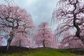 鈴鹿の森,枝垂れ梅_P3150386,2017yaotomi.jpg