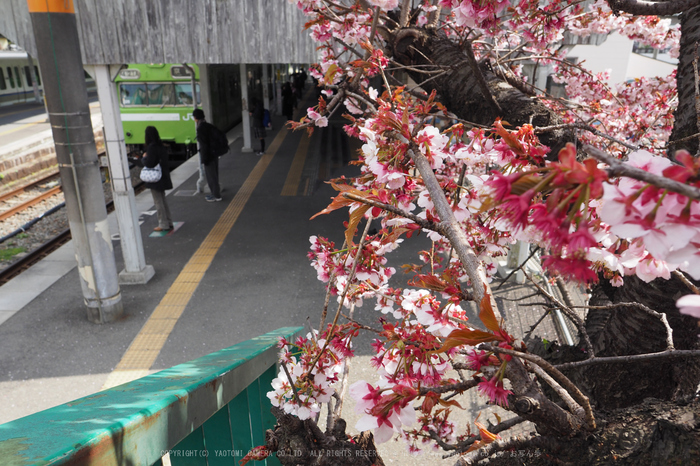 P3080279,2017yaotomi 1.jpg