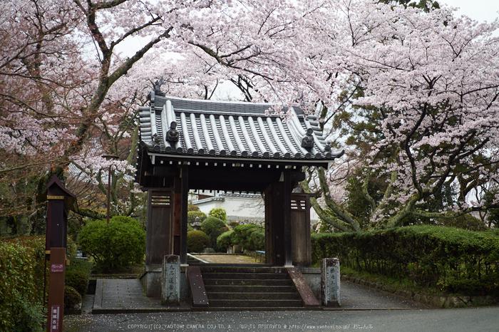 九品寺,桜_P4080216,2017yaotomi.jpg