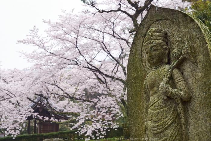 九品寺,桜_P4080238,2017yaotomi.jpg