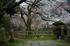 九品寺,桜_P4080241,2017yaotomi 1.jpg