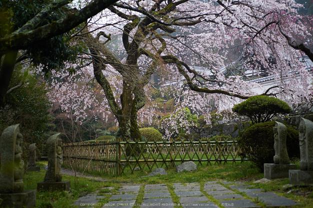 九品寺,桜_P4080241,2017yaotomi.jpg