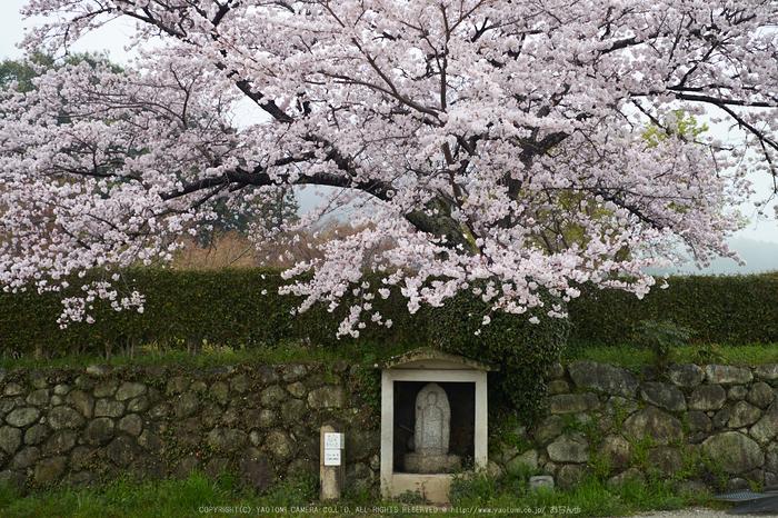 九品寺,桜_P4080247,2017yaotomi.jpg