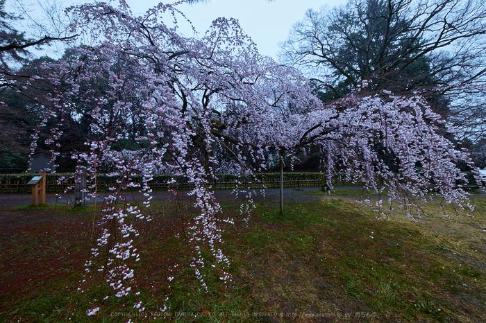京都御苑,近衛邸跡の桜_IMG_7422,2017yaotomi 2.jpg