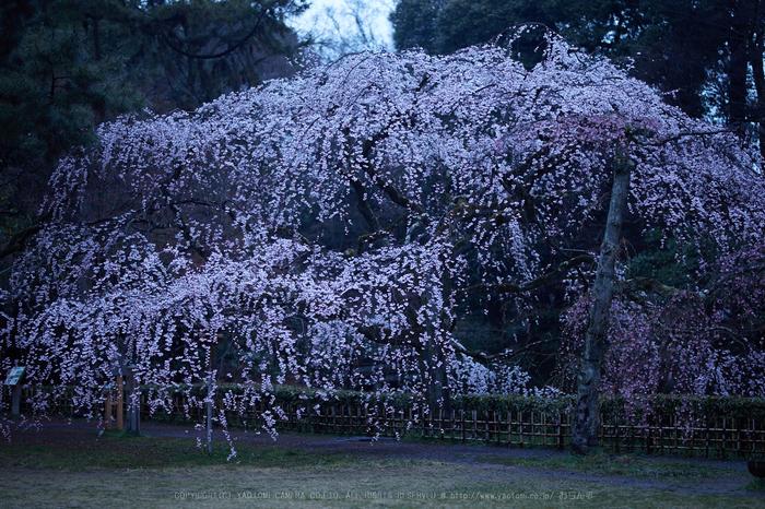 京都御苑,近衛邸跡の桜_IMG_7426,2017yaotomi.jpg