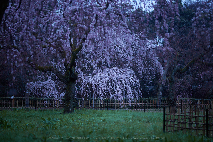 京都御苑,近衛邸跡の桜_IMG_7435,2017yaotomi.jpg