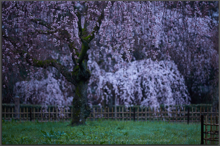 京都御苑,近衛邸跡の桜_IMG_7451,2017yaotomi_T.jpg