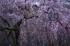 京都御苑,近衛邸跡の桜_IMG_7461,2017yaotomi 1.jpg