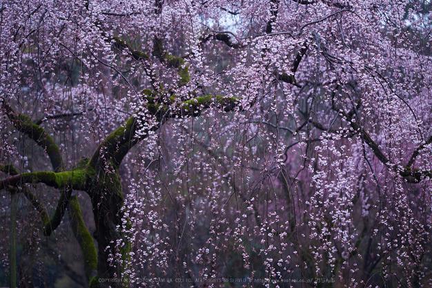 京都御苑,近衛邸跡の桜_IMG_7461,2017yaotomi.jpg
