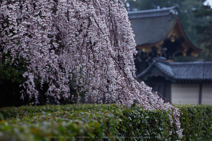 京都御苑,近衛邸跡の桜_IMG_7474,2017yaotomi.jpg
