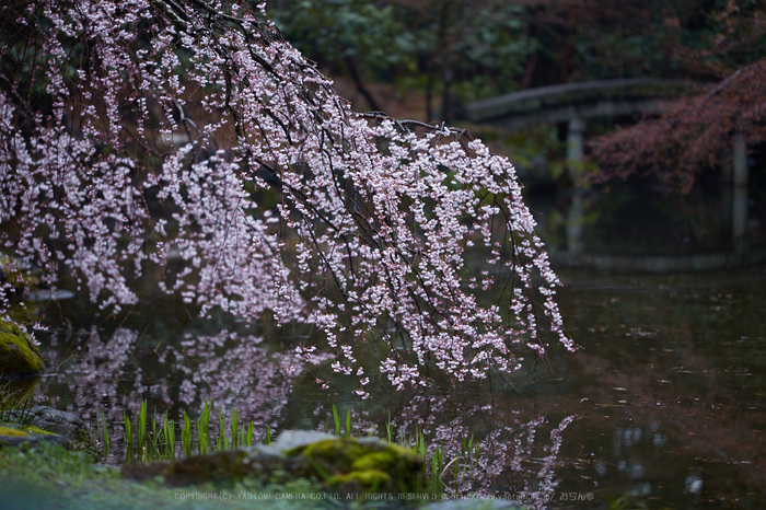京都御苑,近衛邸跡の桜_IMG_7477,2017yaotomi.jpg