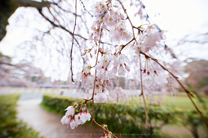 京都御苑,近衛邸跡の桜_IMG_7552,2017yaotomi.jpg
