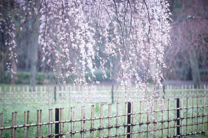 京都御苑,近衛邸跡の桜_IMG_7553,2017yaotomi.jpg