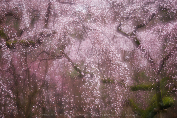 京都御苑,近衛邸跡の桜_IMG_7572,2017yaotomi.jpg