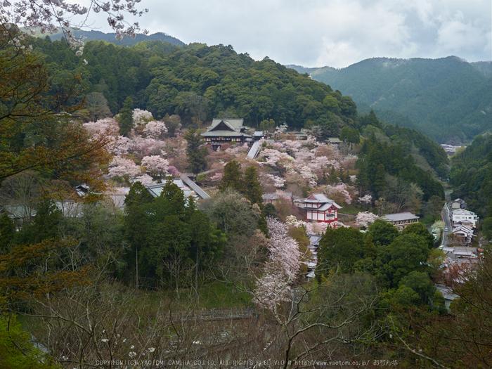 初瀬長谷寺,桜_CF015053,2017yaotomi 1.jpg