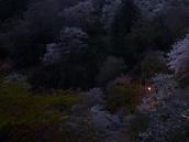 吉野山,桜,CF014948,2017yaotomi 2.jpg