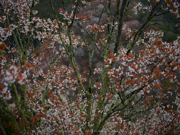 吉野山,桜,CF014989,2017yaotomi.jpg