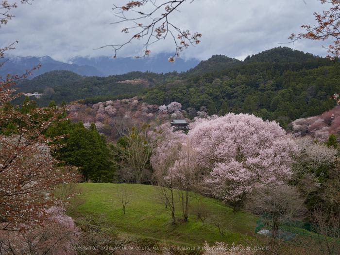 吉野山,桜,CF015019,2017yaotomi.jpg