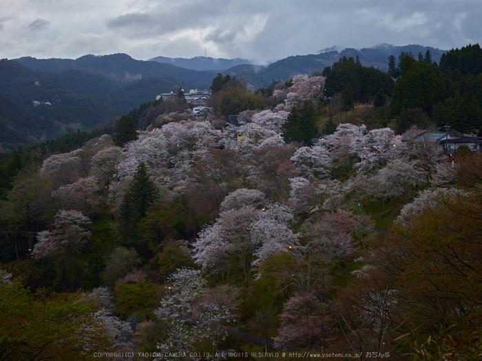 吉野山,桜_CF014968,2017yaotomi.jpg