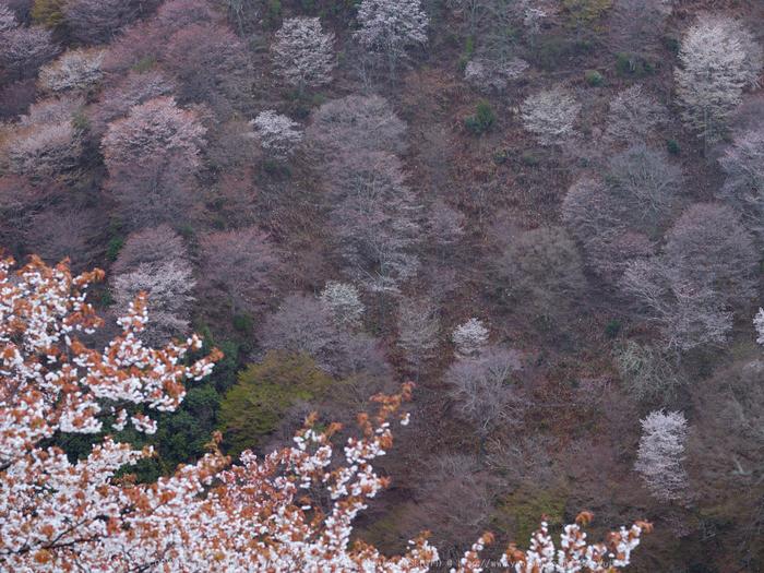吉野山,桜_CF014973,2017yaotomi 1.jpg