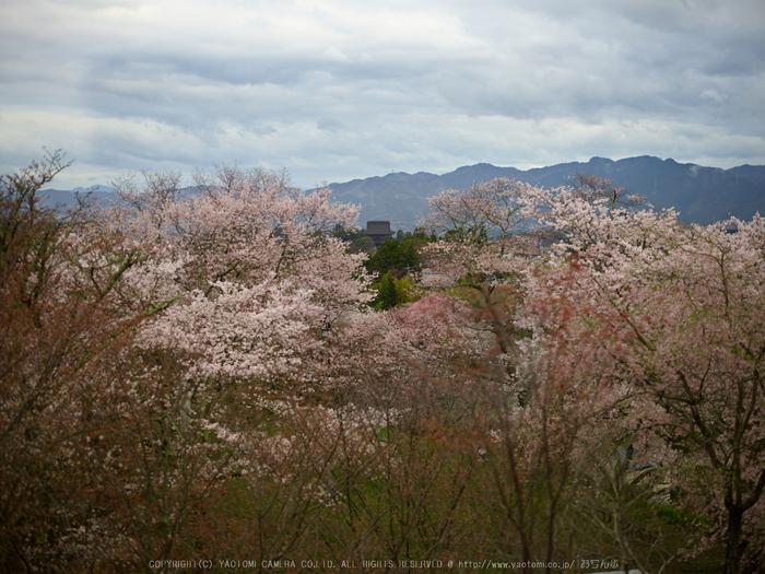 吉野山,桜_CF015007,2017yaotomi 1.jpg