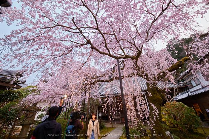 専称寺,桜_IMG_8211,2017yaotomi.jpg