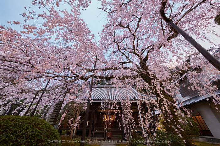 専称寺,桜_IMG_8229,2017yaotomi 1.jpg