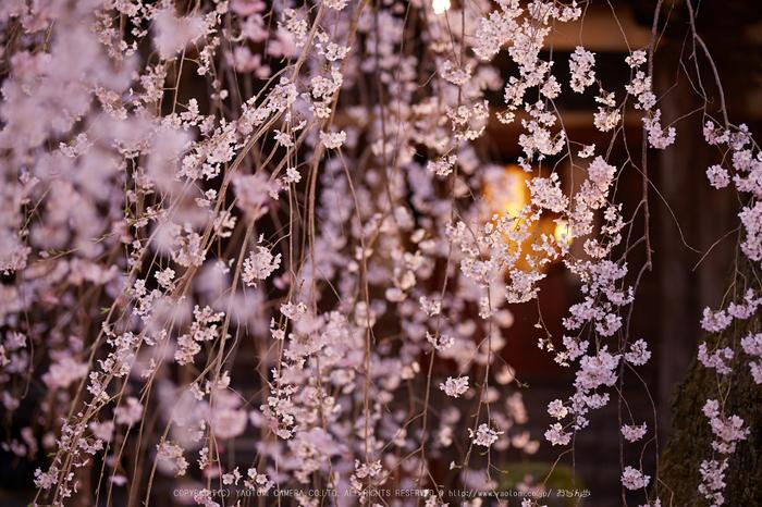 専称寺,桜_IMG_8235,2017yaotomi.jpg