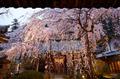 専称寺,桜_IMG_8284,2017yaotomi.jpg