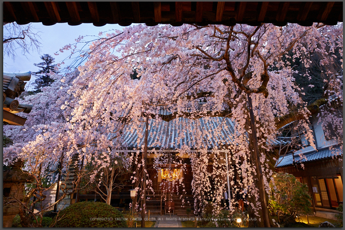 専称寺,桜_IMG_8284,2017yaotomi_T.jpg