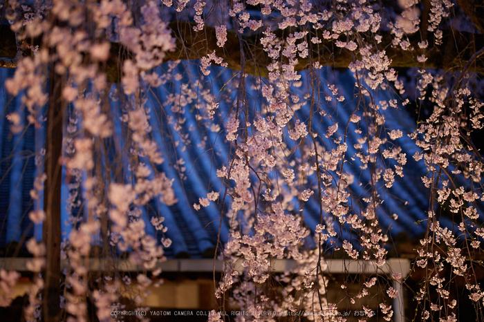 専称寺,桜_IMG_8303,2017yaotomi.jpg