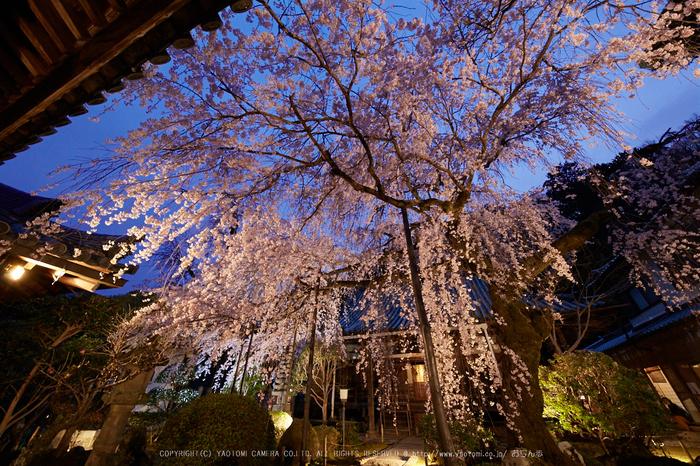 専称寺,桜_IMG_8315,2017yaotomi.jpg