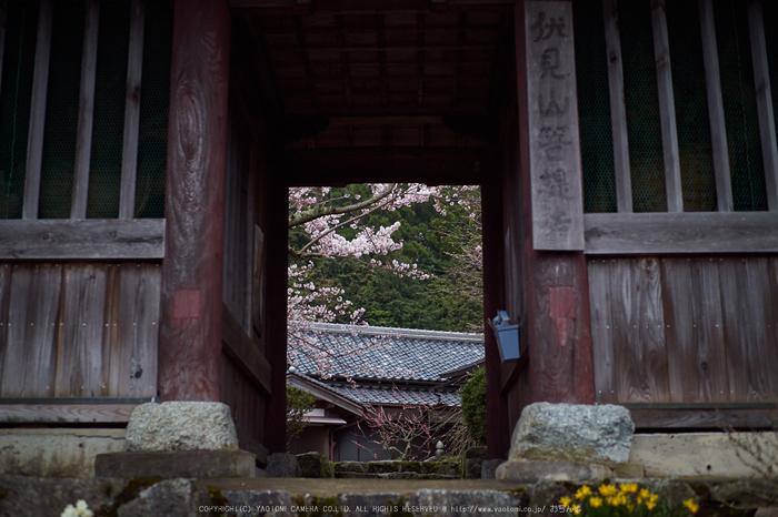 菩薩寺,桜_P4080270,2017yaotomi.jpg
