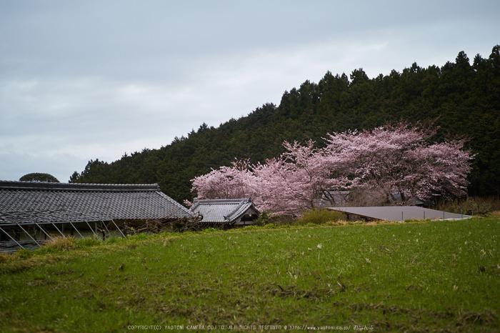 菩薩寺,桜_P4080271,2017yaotomi.jpg