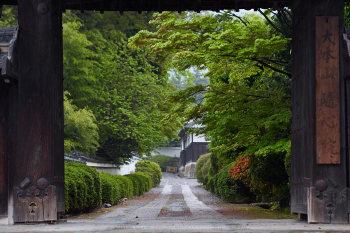 隨心院,雨の石楠花_P4260225,2017yaotomi 1.jpg