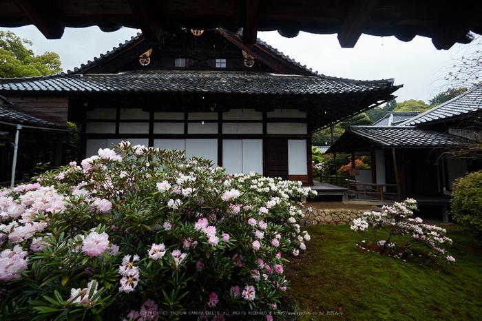 隨心院,雨の石楠花_P4260239,2017yaotomi.jpg