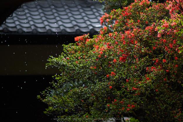 隨心院,雨の石楠花_P4260292,2017yaotomi.jpg