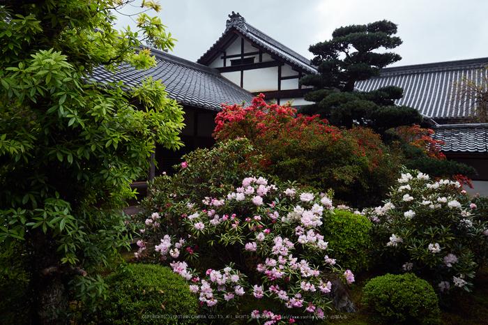 隨心院,雨の石楠花_P4260298,2017yaotomi.jpg